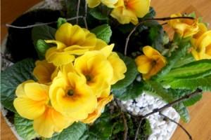 Aranjament cu flori de primavara in ghivece