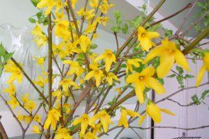 Cum forțați ramurile să înflorească în casă