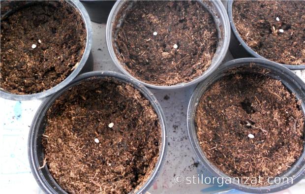 Semintele sunt plantate cate doua