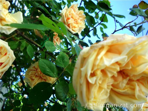 Trandafir urcator, detaliu