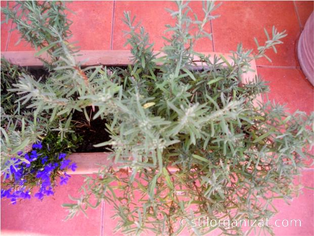rozmarin in jardiniera