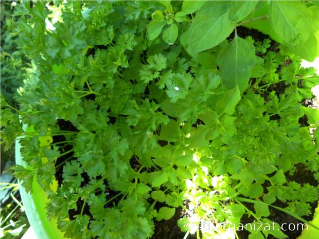 plante aromatice 2