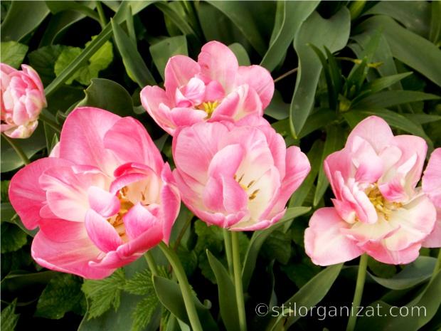 upstar tulips