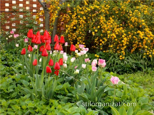 kerria and tulips