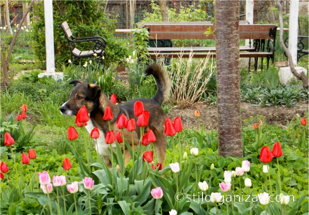tulips and my dog