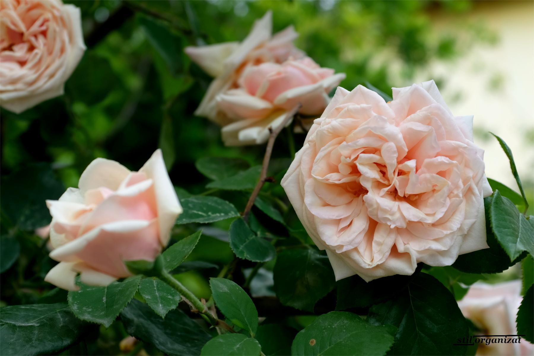 rambler rose Gloire de Dijon