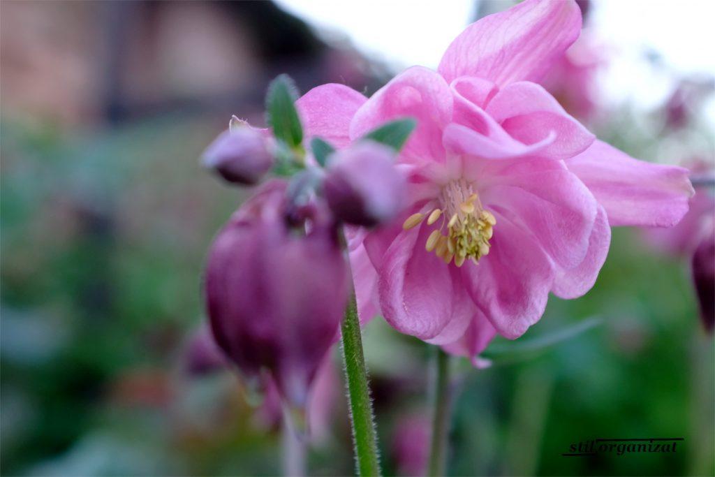 colombine roz