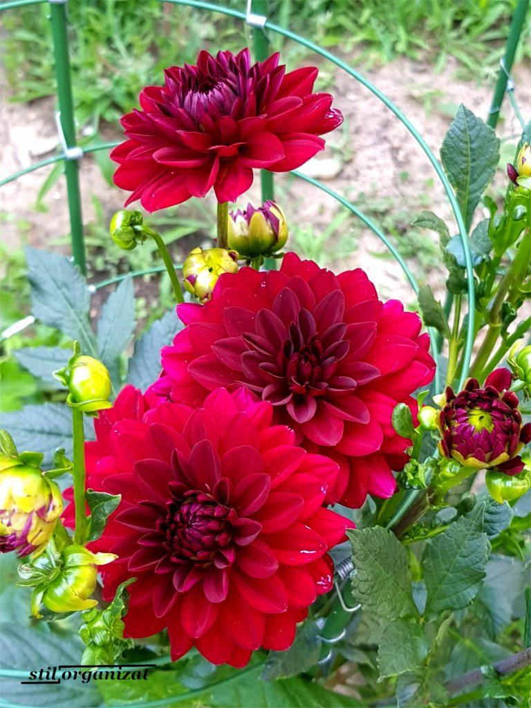 dalii rosii