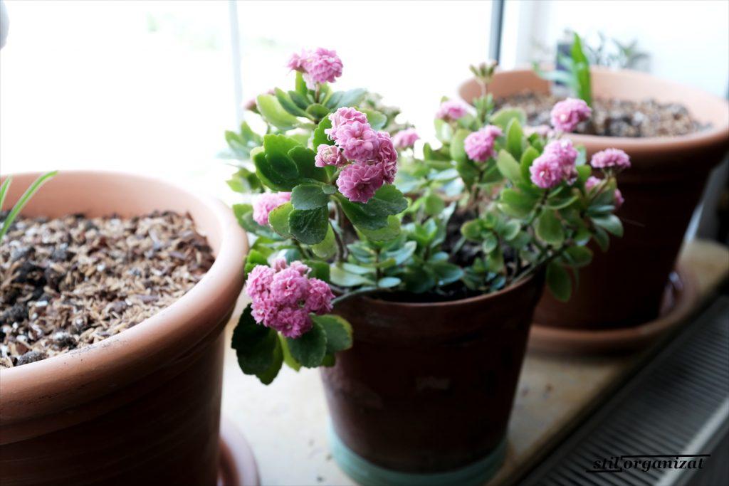 Sedum roz