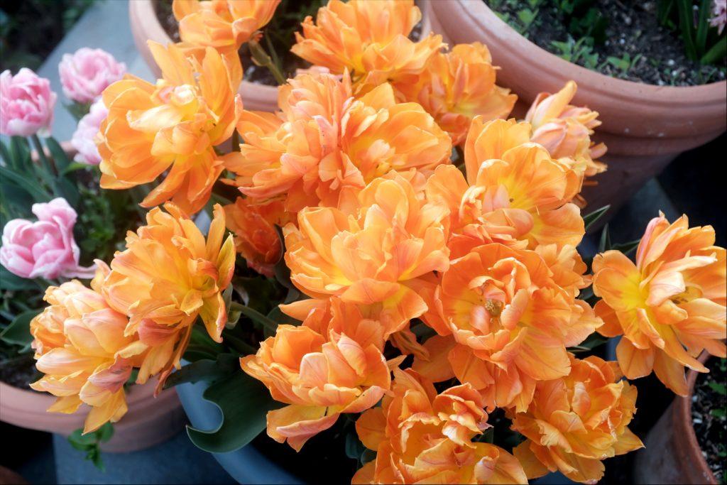 lalele portocalii in ghiveci