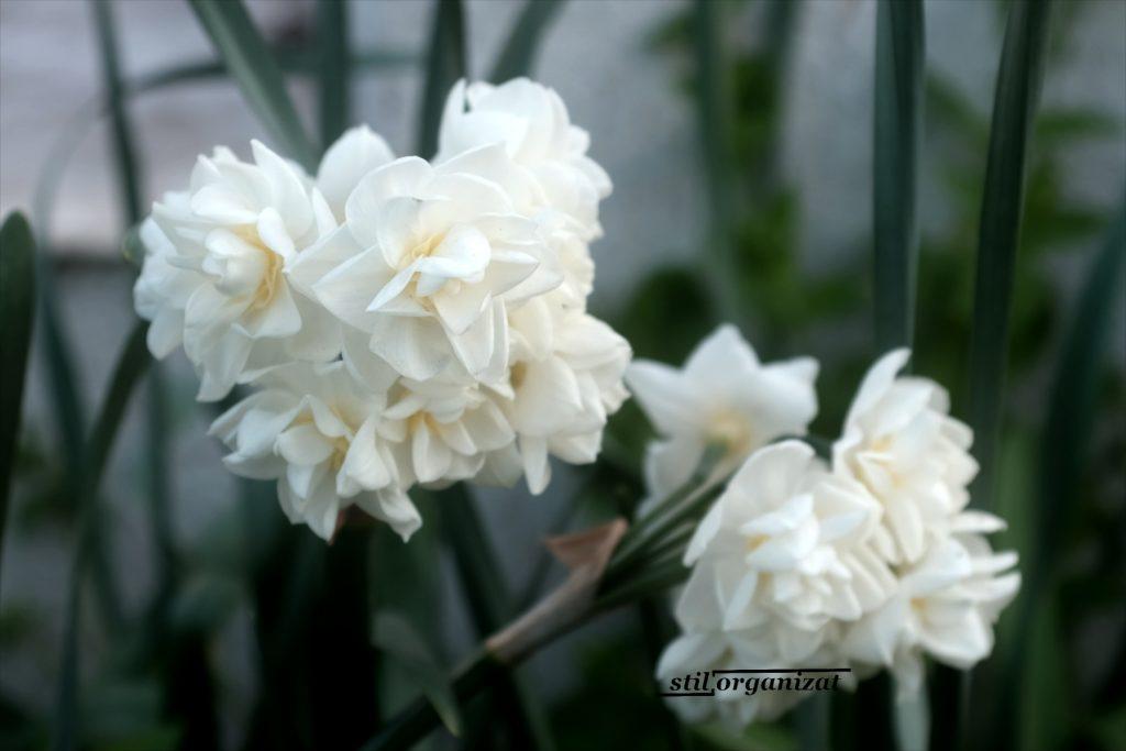 narcisa cu flori in buchet